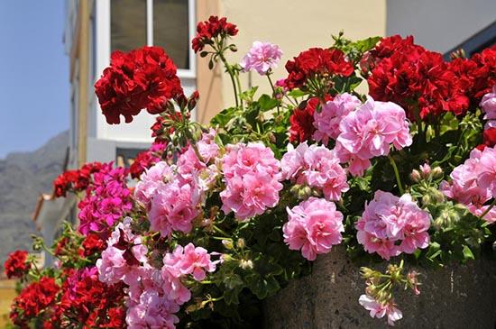 geranios flores