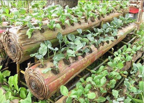 tronco de plátano para cultivo